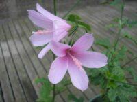Hibiscus geranioides native hibiscus 'La Belle'