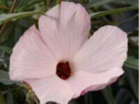 Hibiscus heterophyllus x divaricatus native hibiscus 'Aussie Delight'