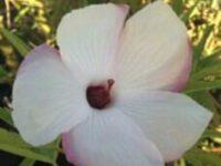 Hibiscus heterophyllus cross divaricatus-native hibiscus 'Aussie Pearl'