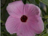 Hibiscus hybrid -native hibiscus 'Aussie Pink'
