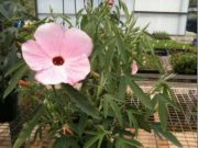 Hibiscus hybrid 'Aussie Pink' is an Australian native hibiscus
