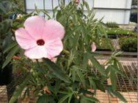 Hibiscus hybrid 'Aussie Pink' is an Australian native hibiscus