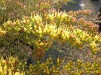 Homoranthus prolixus