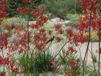 honey-eating-bird-on-kangaroo-paw