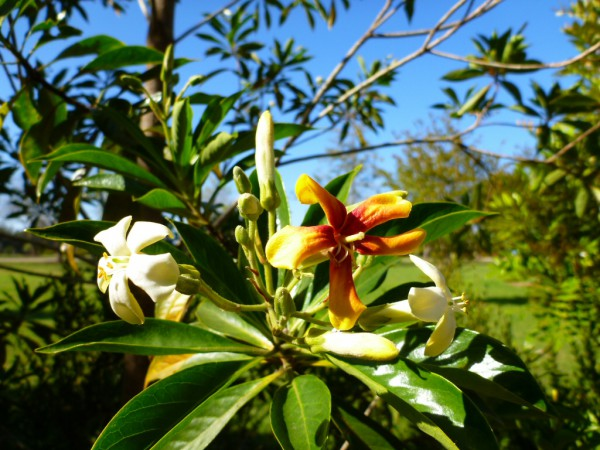 Hymenosporum flavum - native frangipani has sweet smelling flowers