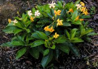 Hymenosporum flavum native frangipani 'Lushious'