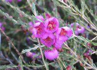 Hypocalymma puniceum - pink myrtle