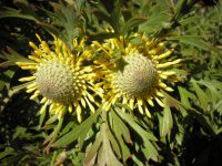 Isopgon anemonifolius drumsticks 'Woorikee 2000'