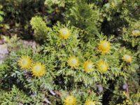 Isopogon anemonifolius 'Little Drumsticks'