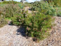 Isopogon dubius - drumsticks