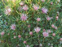 Isopogon formosus-x-latifolius drumsticks 'Candy- Cones'