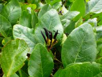 Kennedia nigricans - black kennedia