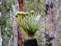Kingia australis - bullanock