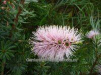 Kunzea baxteri 'Solomons Pink'