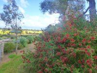 Kunzea baxteri - crimson kunzea or tick bush