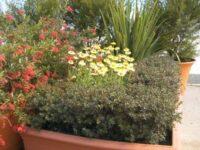 Kunzea ericoides tick bush 'Snowman'
