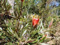 Lambertia Formosa - mountain devil