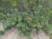 Lambertia Formosa - thorny mountain devil