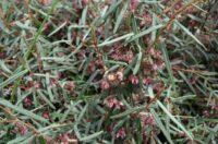 Lasiopetalum baueri prostrate - slender velvet bush