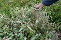 Lasiopetalum discolor - velvet bush