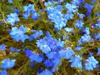 Lechenaultia biloba - blue lechenaultia