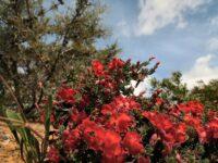Lechenaultia formosa - red lechenaultia