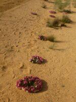 Lechenaultia macrantha - wreath lechenaultia