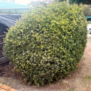 Leionema elatius x lamprophyllum Green Screen is a good hedge plant for shade