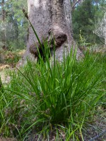 Lepidosperma effusum - sword grass