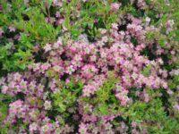 Leptospermum 'Aphrodite' tea tree manuka hybrid