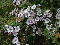 Leptospermum 'Cherish' is an australian native , good for cut flowers