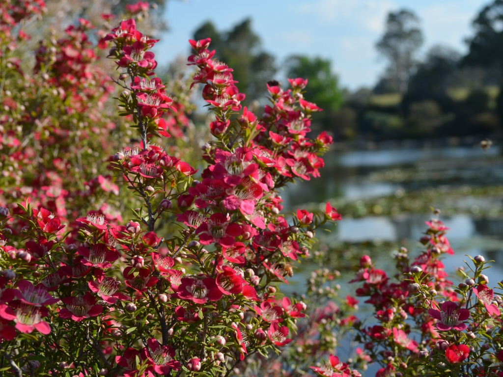 Leptospermum Outrageous Tea Tree Gardening With Angus