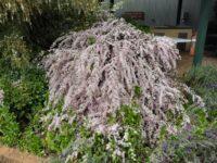 leptospermum hybrid tea-tree cultivar pink cascade