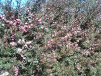 Leptospermum hybrid tea-tree 'Rudolph'