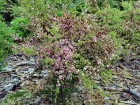 Leptospermum 'Tickled Pink' is an australian plant good for cut flowers and hedging