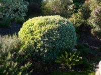 Leptospermum laevigatum tea tree 'Foreshore'