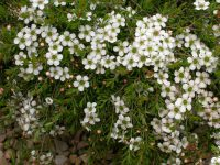 leptospermum-laevigatum tea-tree white wave