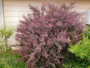 Leptospermum morrisonii tea-tree 'Burgundy'