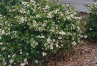 Leptospermum obovatum tea-tree 'Lemon Bun'