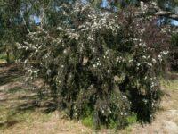 Leptospermum obovatum tea-tree 'Starry Night'