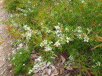 Leptospermum petersonii lemon-scented tea-tree 'Little Lemon Scents'