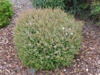 Leptospermum rotundifolium tea tree 'Bobbles'