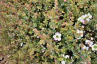 leptospermum-rotundifolium_tea-tree_bobbles