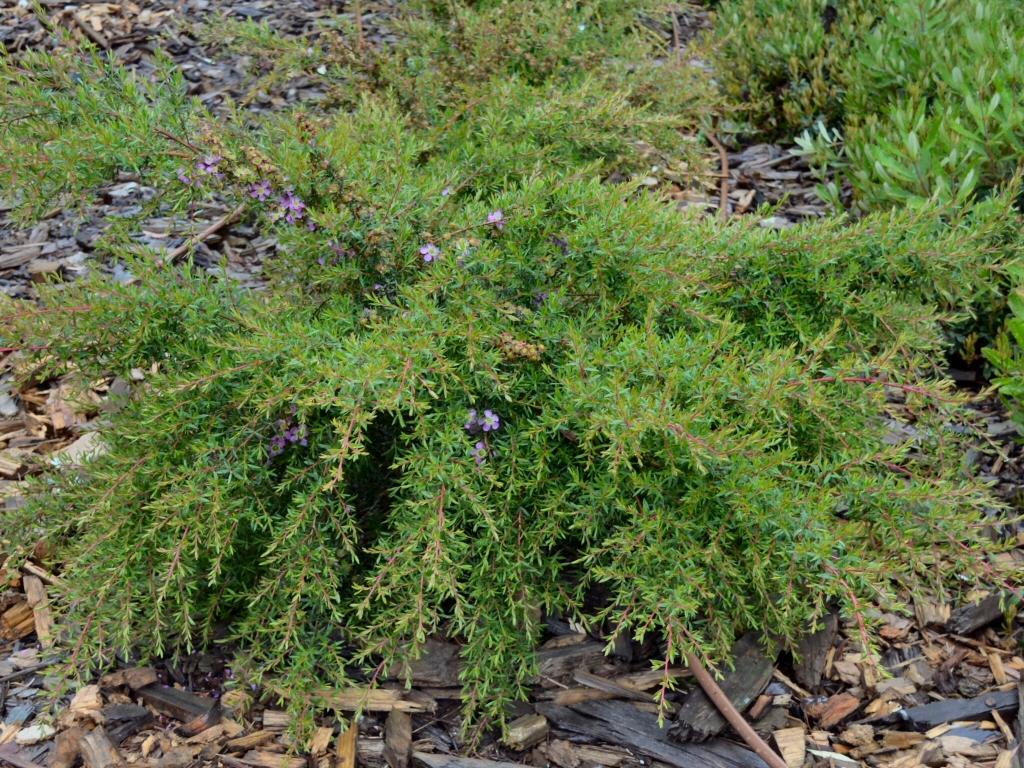 Leptospermum scoparium x manuka tea-tree 'Pageant'