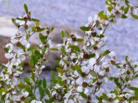 Leptospermum laevegatum tea tree 'Shore Tuff'