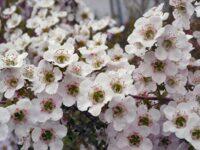 Leptospermum tea-tree 'Cherish'
