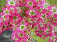 Leptospermum tea-tree 'Daydream'