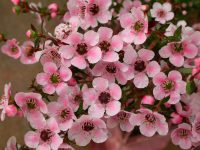 Leptospermum tea-tree 'Freya'