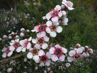 Leptospermum tea tree 'Mesmer Eyes'