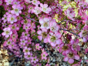 Leptospermum tea-tree 'Tickled Pink'